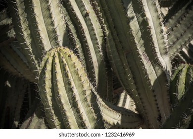 Artistic Landscape of Cactus plant  in the desert. Close up thorns.
