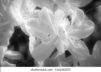 Artistic macro view of a blooming White Azalea on Hilton Head Island in late March.