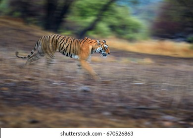 Artistic photo of Bengal tiger, Panthera tigris expressing movement by camera panning techniques. Motion blur of tiger in Ranthambore national park, India. Vibrant photo of wild tiger in wilderness.