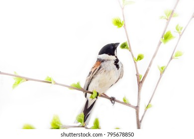 Artistic picture. Bird on spring branch with blooming tender leaves. Spring offensive, singer of spring. Reed Bunting male mating call for female
