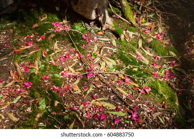 Artistic pink rhododendron flowers  spring blurry background.