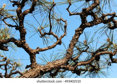 Artistic Pinus thunbergii, the Japanese black pine tree with the blue sky in Osaka, Japan