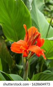 Artistic portrait photo of a orange Canna Indica flower with dark blurry background. Closeup shot of Canna lily  or African arrowroot or Edible canna or Purple arrowroot or Sierra Leone arrowroot.
