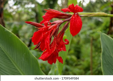 Artistic portrait photo of a red Canna Indica flower with dark blurry background. Water drops on petals. Closeup shot of Canna lily or African arrowroot or Edible canna or Purple arrowroot.