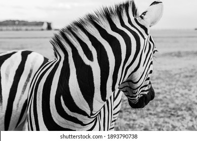 Artistic poster style black and white horizontal composition. Zebra looking back. Beautiful striped neck. Wild nature theme. Adorable animal nature perfect lines.  Abstract design