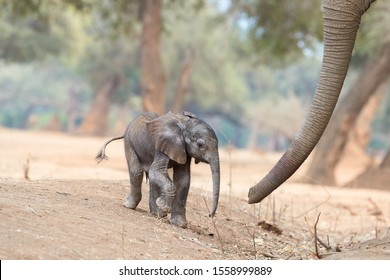 Artistic, touching picture of a fresh born African elephant calf, Loxodonta africana with mothers trunk. Tiny elephant baby and huge trunk. Mana Pools, Zimbabwe, Africa