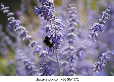 Artistic view of Perovskia atriplicifolia 'Blue Spire' - Russian sage. Perfect image for: close up of blooming sage, blue or purple perovskia flowers, blue purple with bokeh, autumn background, etc.