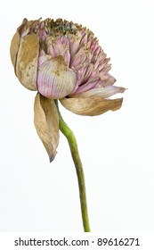 The artists lotus flower that had faded and kraurotic.