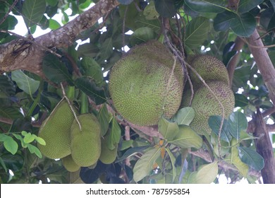 Artocarpus heterophyllus  Jackfruit Tree Jackfruit is a large tree about 15-30 meters tall and branches and stems when the wound is white latex outflow. The nature of the paperwork. The leaves are arr