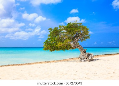 Aruba, Netherlands Antilles. Divi divi tree on the beach