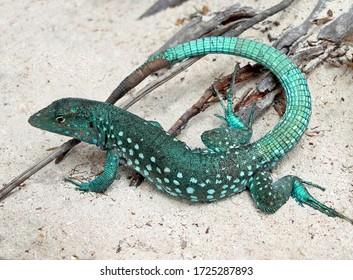 Aruban Whiptail Lizard in Aruba