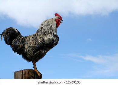 Arucauna rooster crowing perched on fencepost