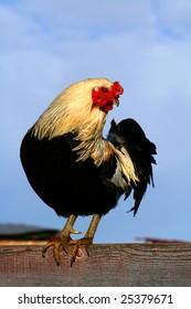 Arucauna Rooster is Idaho spring sun