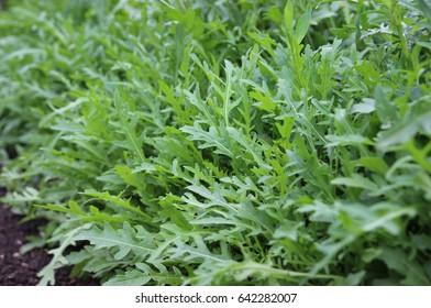 Arugula. Fresh arugula. garden