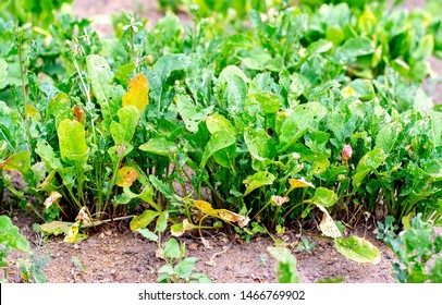Arugula grows in the garden. Arugula leaves in the holes. Insects in the garden. Problems of the crop of arugula.