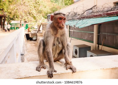 Arunachala, Tiruvannamalai / Tamil Nadu / India, January 22, 2018: Monkey in the Sri Ramana Maharshi Ashram garden