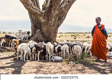 ARUSHA, TANZANIA - January 2018: African tribal girl Masai in Ngorongoro National Park with herd of goats. African savanna nature and people, Tanzania