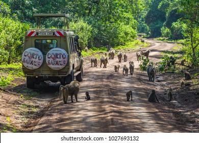 Arusha, Tanzania -January 24, 2018- Safari vehicles in the Lake Manyara National Park. Lake Manyara National Park is a Tanzanian national park located in Arusha Region and Manyara Region, Tanzania.