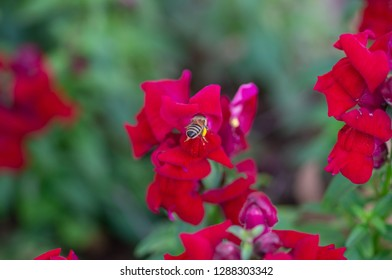 Aryan, Bee, pollen
