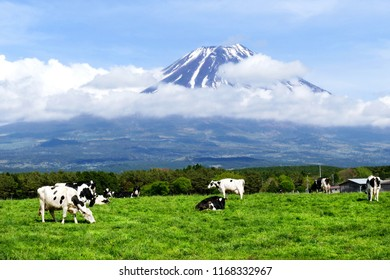 Asagiri highland is the area on the western foot of Mount Fuji. The slope is very gentle, and there are many cattle farms with wide field. We can see beautiful field with cattle and Mount Fuji.