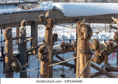 Asahikawa City,Hokkaido, Japan. Feb 20, 2019 : Japanese monkey in asahiyama zoo, asahikawa japan