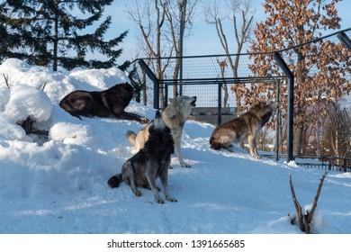 Asahikawa City,Hokkaido, Japan. Feb 20, 2019 : Wolf in Asahikawa Zoo, Hokkaido, Japan