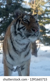 Asahikawa City,Hokkaido, Japan. Feb 20, 2019 : Tiger at Asahikawa Zoo in Asahikawa, Hokkaido