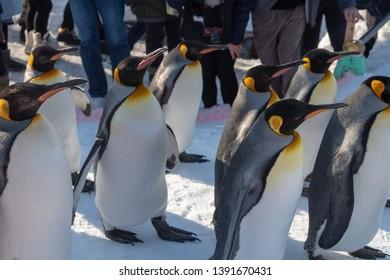 Asahikawa City,Hokkaido, Japan. Feb 20, 2019 : Penguin walking parade show on snow at Asahikawa Zoo in Hokkaido, Japan in winter.
