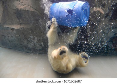 Asahikawa City,Japan - Feb 23th , 2016 : polar bear is playing  a gasoline can at asahiyama zoo in Japan