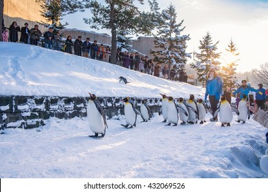 Asahikawa, Hokkaido, Japan, December 24, 2015: King Penguin at Asahiyama Zoo, the last Parade time of the day before sunset.