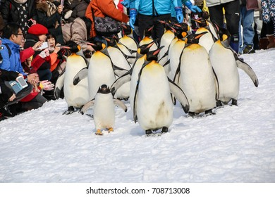 Asahikawa ,Japan- February 20,2016 :King Penguin walk 2016 on snow  at Asahikawa zoo in winter on February 20,2016 in Asahikawa ,Japan.
