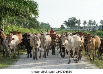 Asam Jawa,Kuala Selangor - October 23 2020 : A group of cows in Kuala Selangor,Selangor Malaysia