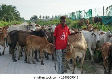 Asam Jawa,Kuala Selangor - October 23 2020 : A young boy looked after his cows in Kuala Selangor,Selangor Malaysia