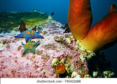 ascidia purple underwater photo coral reef