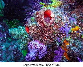 Ascidians on colorful rock reef. Owase, Mie, Japan.