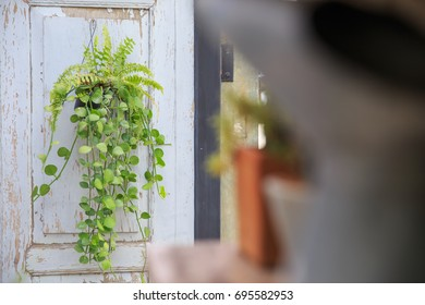 Asclepiadaceae in garden