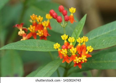 Asclepias curassavica, commonly known as tropical milkweed, blood flower, cotton bush, hierba de la cucaracha, Mexican butterfly weed, redhead, wild ipecacuanha.