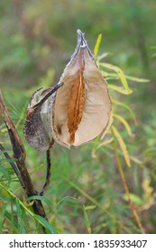 Asclepias syriaca, Common Milkweed seed pods in autumn/fall, Southern Minnesota