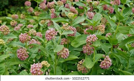 Asclepias syriaca - Milkweed American