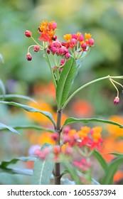 Asclepias, Tropical Milkweed, Bloodflower, Butterfly Weed, Mexican Milkweed