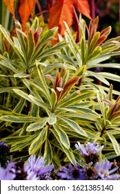 'Ascot Rainbow' Martin's spurge (Euphorbia x martinii 'Ascot Rainbow'), showing the yellow-variegated foliage and pink-blushed shoot tips