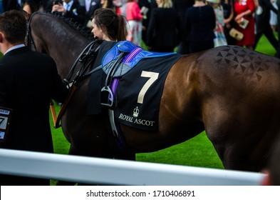 Ascot, UK - 16 June 2015  Racing horse's grooming; Ascot Racecourse