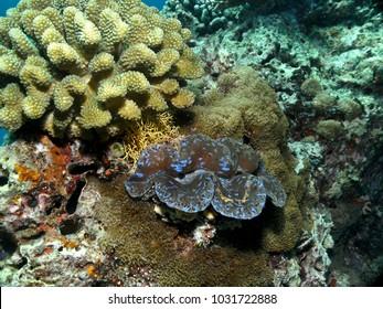 Asdu, Maldive - mar 2011 : a giant tridacna and corals on the bottom of Asdu atoll in the Maldives