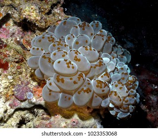 Asdu, Maldives - mar 2009 : a large colony of transparent ascidians in the warm tropical Maldivian waters
