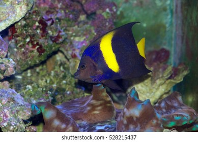 The Asfur Angelfish, Pomacanthus asfur, is also called the Arabian Angelfish, Crescent Angelfish or Half-Moon Angelfish. This is a juvenile with adult coloring.
