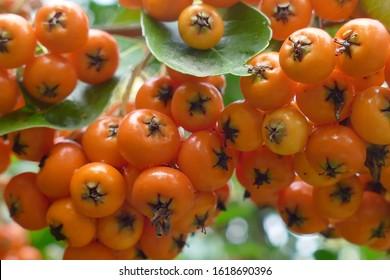 Ash berries in the Washington Park Arboretum, Seattle