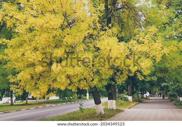 ash-tree-bright-yellow-foliage-600w-2034
