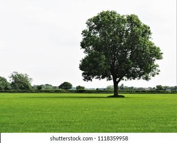 Ash tree in a green field near York, England