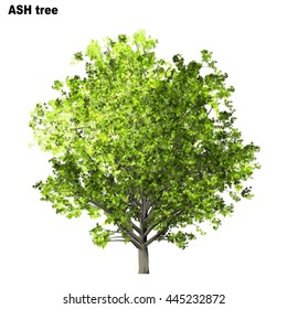 Ash Tree Isolated on white background, 3D Illustration.