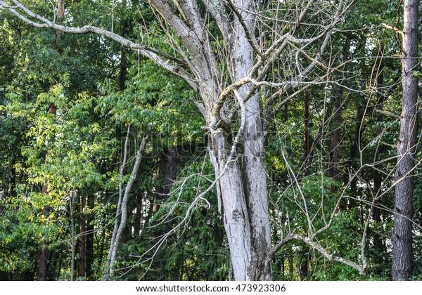 Ash Tree killed by the invasive Emerald Ash Borer.